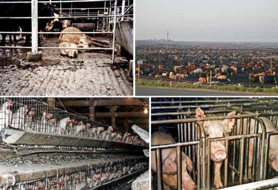 Животноводство ведёт к экологической катастрофе