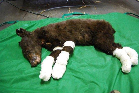 Осиротевшего медвежонка спасли от лесных пожаров