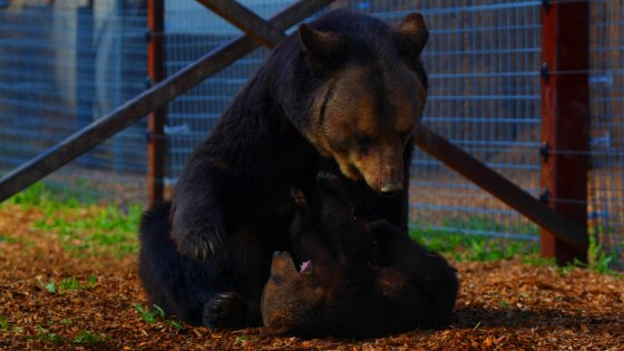 Прекрасная история о медведице и её медвежатах представлена в уникальных фотографиях