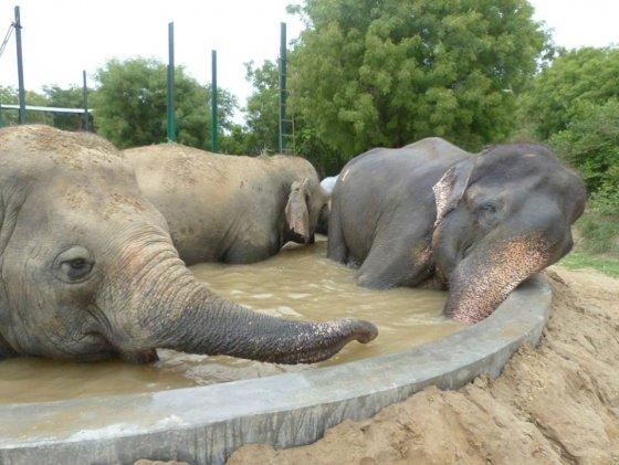 Освобождённый слон Раджу радуется жизни