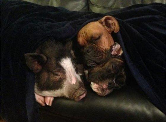 Прекрасная история дружбы свиньи с собаками в фотографиях