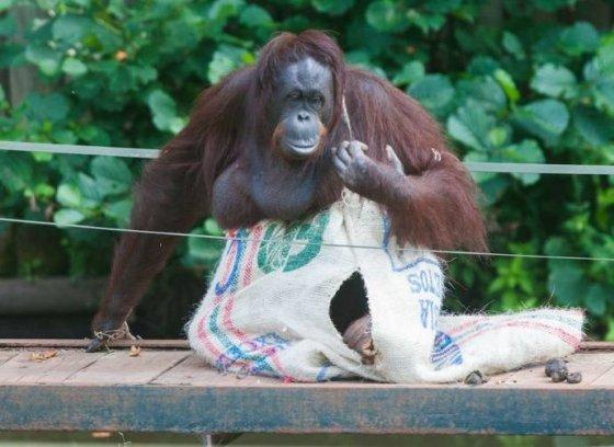 Самка орангутана смастерила себе платье из мешка