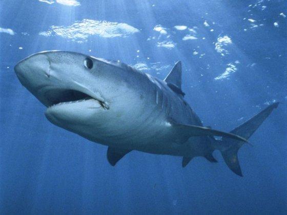 Ученые подтвердили  наличие у акул сложного ума и индивидуального характера