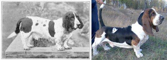 """К чему привели 100 лет """"улучшения"""" породистых собак (фото)"""