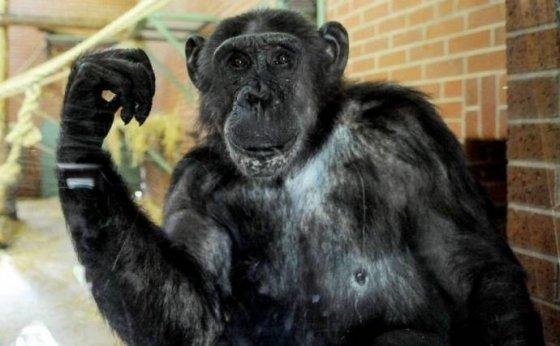 Суд Нью-Йорка признал наличие у шимпанзе таких же прав, как и у людей