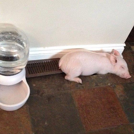 Свинья - друг человека!
