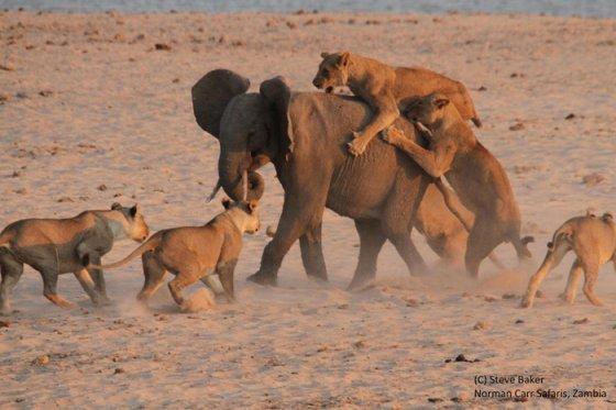 Душераздирающее видео схватки смелого  слонёнка с 14-ю львами