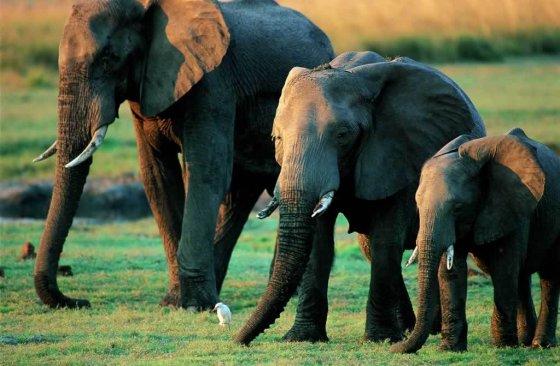 Невероятно трогательное видео от ВВС : слоны прощаются с ушедшими сородичами