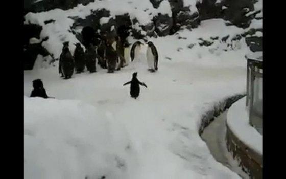 Видео с резвящимся пингвинёнком никого не оставит  равнодушным!