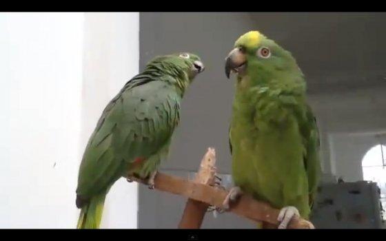 Дуэт поющих попугаев - аплодисменты!