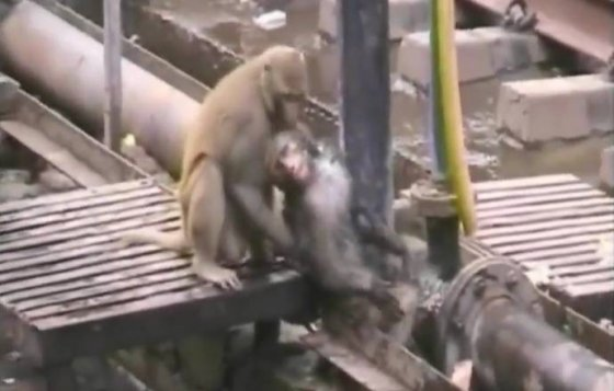 Одна обезьяна реанимировала другую, пострадавшую от удара тока (видео)