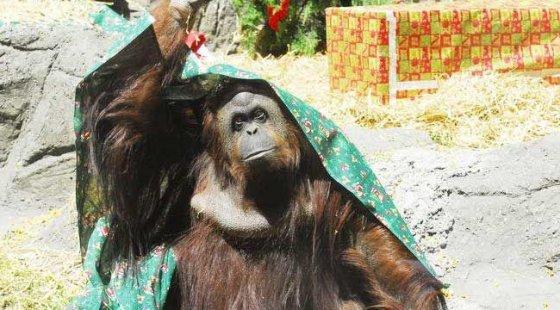 Суд в Аргентине признал права орангутана