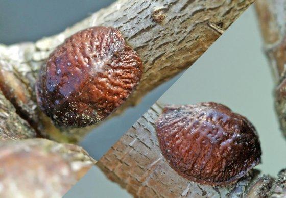 Краситель  Е120 (кармин)  из насекомых
