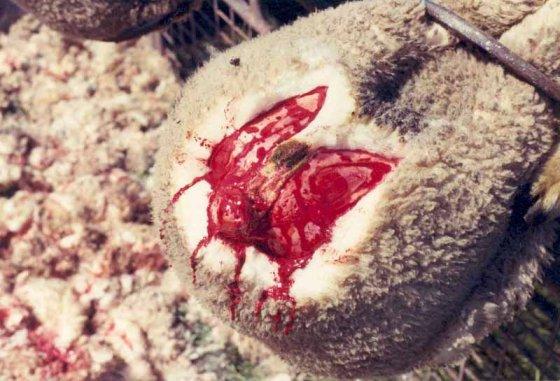Почему шерсть  — это жестоко и неэтично