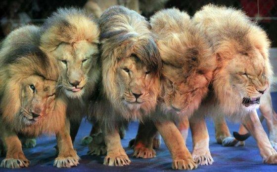 Нидерланды запретили цирк с животными