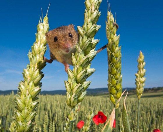 Тайная жизнь мышек-малюток в поле (15 фото)
