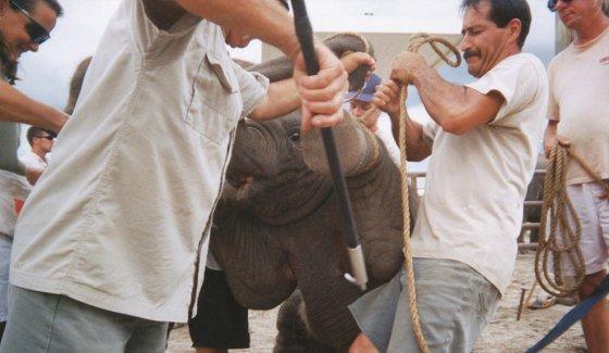 Цирк Ringling Bros. объявил об  отказе использования слонов в цирковых представлениях