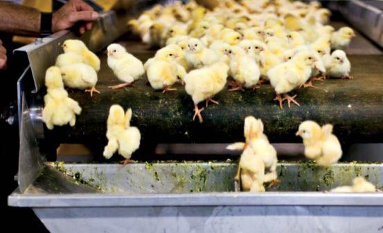 Активисты ALF Израиля атаковали птицефабрику: вся правда о яичной индустрии
