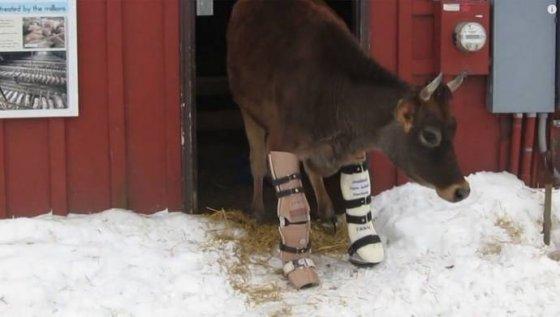 Корове  с травмой ног установили протезы (видео)