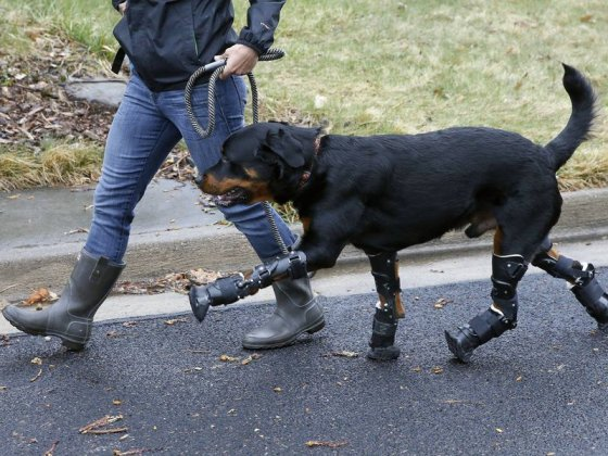 Собаке установили протезы на все лапы
