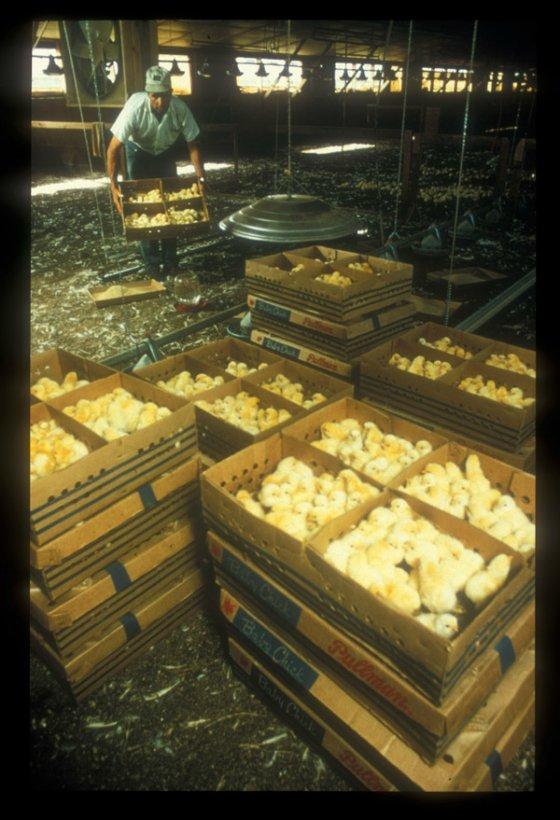 Германия станет первой страной в мире, прекратившей  убийства цыплят в яичной индустрии