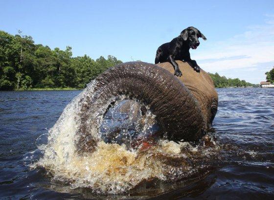 Слон подружился с собакой:  удивительная история дружбы двух животных (фото, видео)