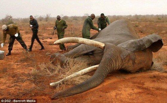 В Кении спасли слона, раненного ядовитой стрелой