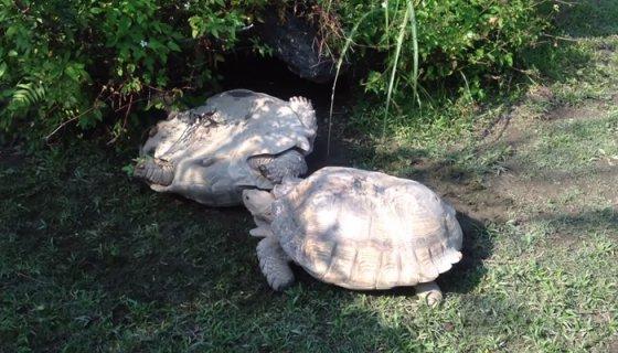 Черепаха помогла сородичу перевернуться: прекрасный пример взаимовыручки