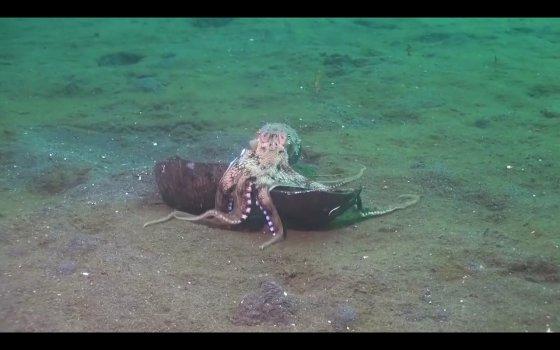 Зачем осьминогу скорлупа кокосового ореха: видео