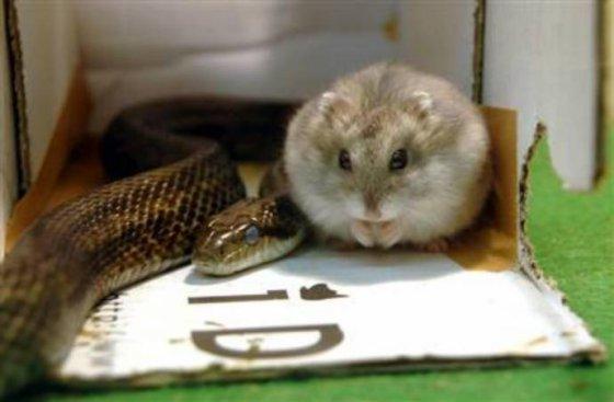 Полоз подружился с хомячком: удивительная дружба между животными