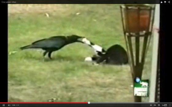 Ворона и котёнок: для дружбы нет преград