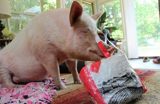 Учёные доказали: свиньи не глупее собак и шимпанзе