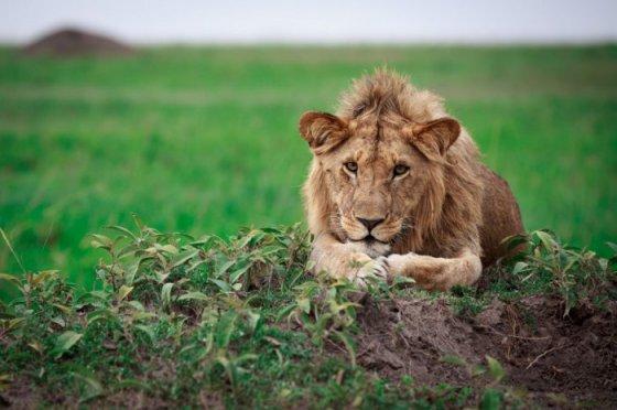 Цирковой лев впервые увидел траву (видео)