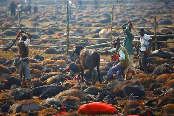 Победа: в Непале запретили жертвоприношение  на праздник Gadhimai