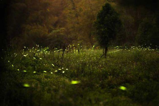 Волшебный мир светлячков в работах японских фотографов