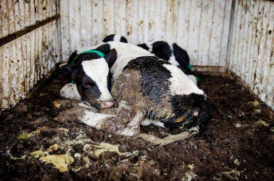 Россельхознадзор обнаружил опасные вещества в отечественной мясной и молочной продукции