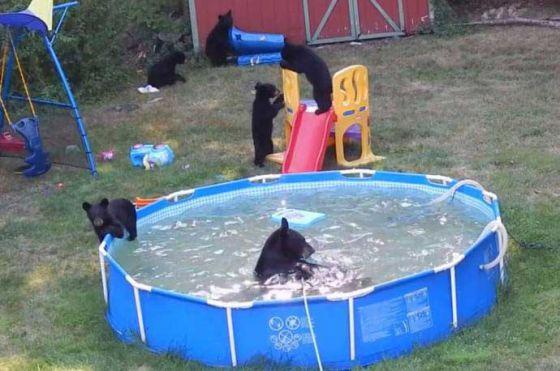 Медведица с медвежатами решила искупаться в бассейне во дворе жилого дома