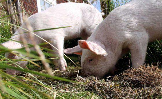 Спасение свиней в Швеции активистами  сообщества  «Пустые клетки»