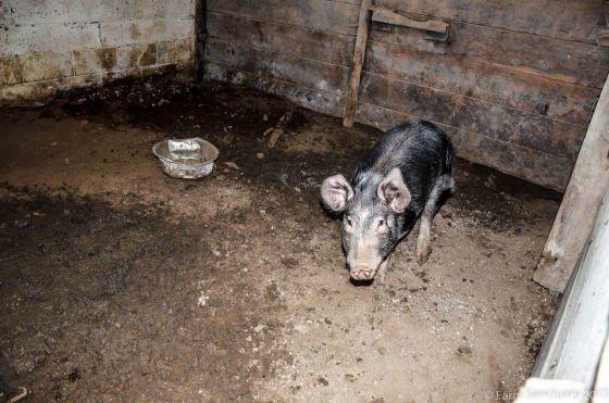 Более 120 животных было спасено в штате Нью-Йорк  людьми из  Farm Sanctuary