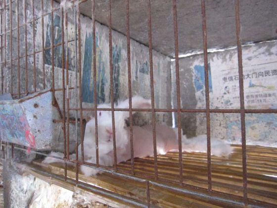 Новое расследование РЕТА  о производстве ангоры в Китае  шокирует (фото, видео)