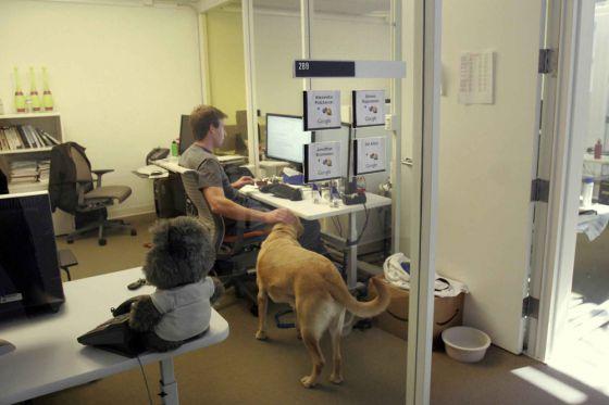 В Америке становится популярным брать  на работу животных