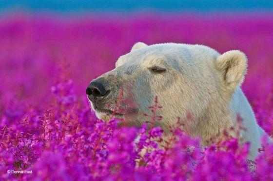 Белые медведи в цветущем кипрее: фотограф  Dennis Fast и его потрясающие  снимки