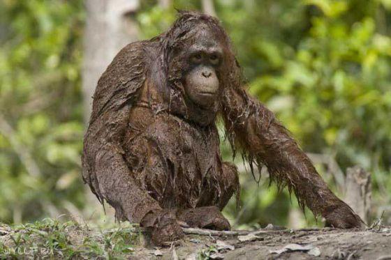 Пальмовое масло: вред здоровью, экологии, природе и животным