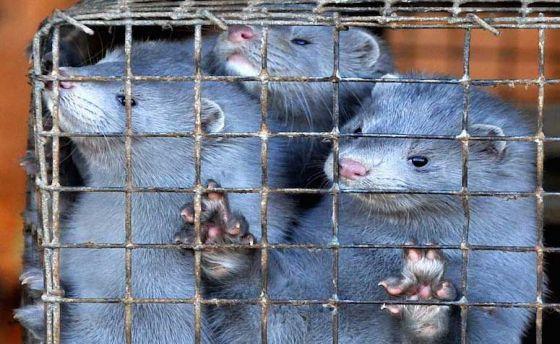 В Нидерландах запретили меховую промышленность