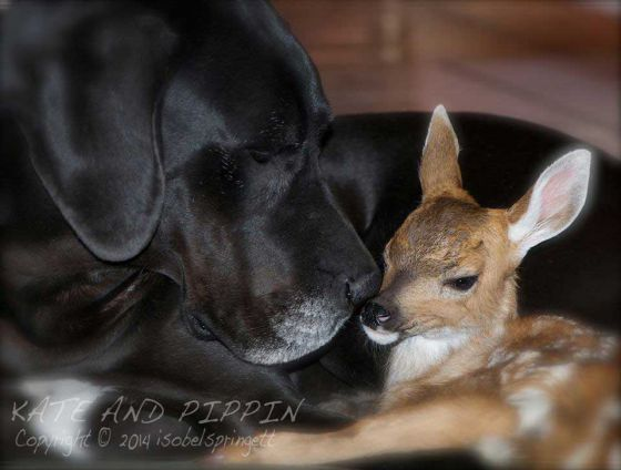 Кейт и Пиппин: удивительная  дружба собаки и оленя