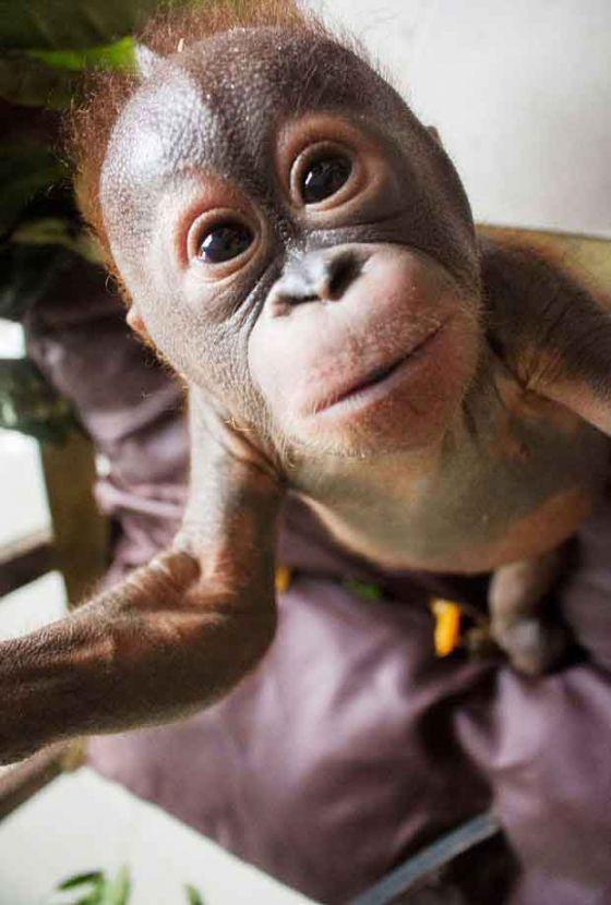 Малыш  Гито идёт на поправку: продолжение истории о найденном орангутане