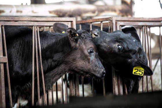 ALF Израиль  обнародовал  новые  факты расследования с фермы по выращиванию телят