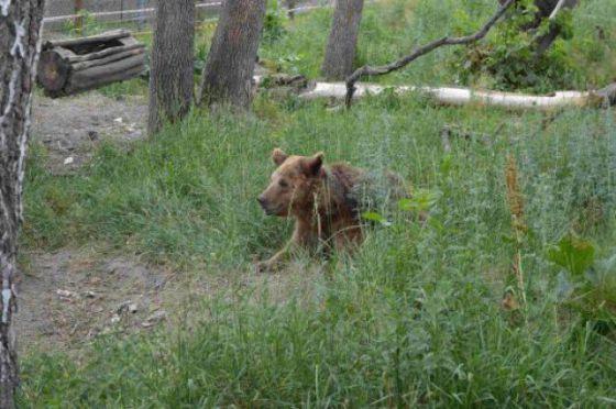 Долгожданное освобождение  медведиц  в Украине