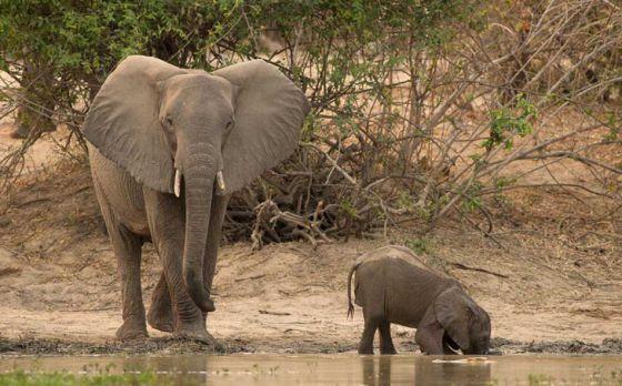Слониха  спасла своего малыша от крокодила (фото)