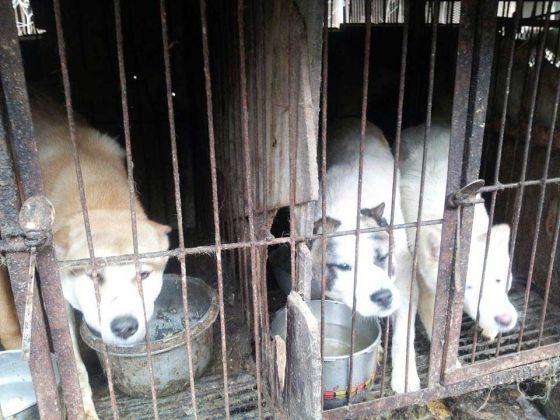 В Южной Корее закрыли  собачью бойню благодаря  местным защитникам животных